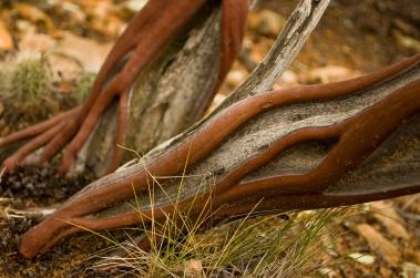 Manzanita bush, Sedona, AZ
