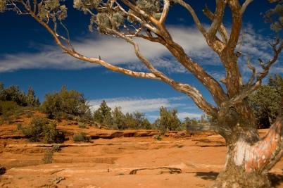 Juniper Tree near the Seven Sacred Pools