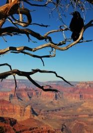 Raven and Grand Canyon