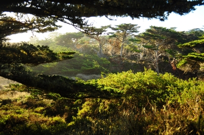 Monterey cypress, Point Lobos State Reserve