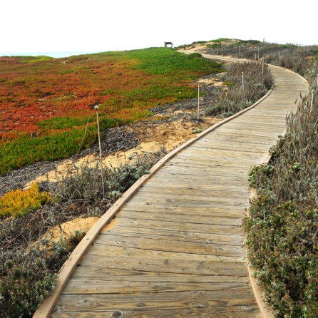 Boardwalk and ice plant