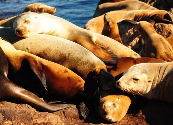 Sea lions, Monterey, CA