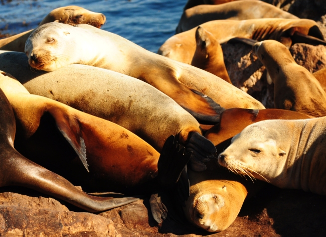Sleeping Pile of Sea Lions