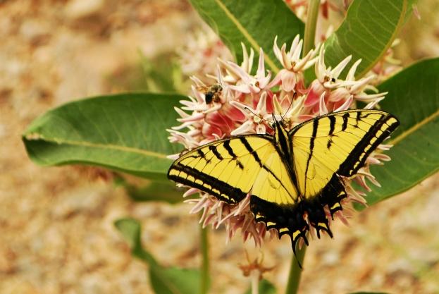 Swallowtail on Milkweed, Black Canyon of the Gunnison National Park, Colorado