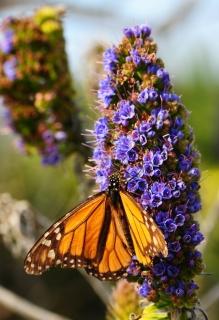 Monarch, Pacific Grove, CA