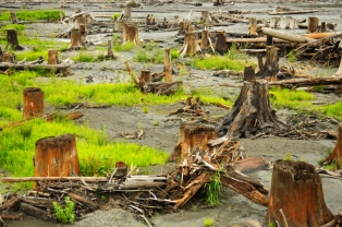 Cedar stumps, former Lake Aldwell, Olympic National Park