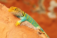 Collared Lizard, Dominguez–Escalante National Conservation Area, Colorado