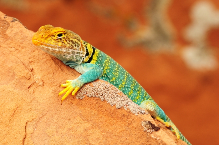 Western Collared Lizard on a rock