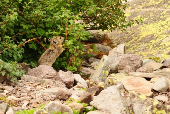 An American Pika in the San Juan Mountains
