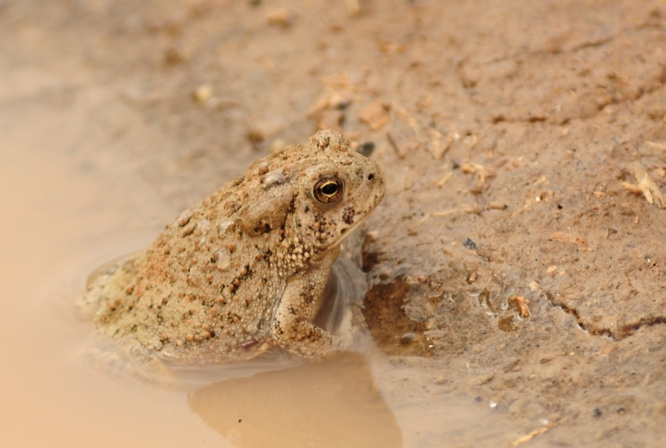 A Canyon Treefrog in a puddle