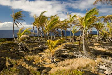 A grove of plam trees that has managed to survive despite being surrounded by lava flows