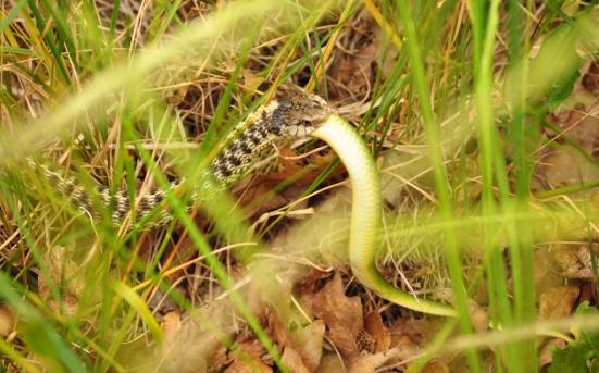 A Garter Snake consumes a Smooth Green Snake