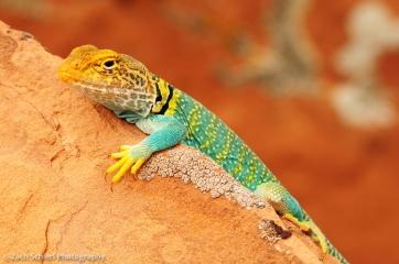 Collared Lizard in Colorado