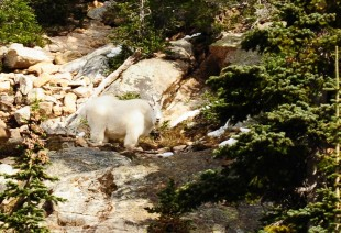 Mountain Goat, Okanogan-Wenatchee National Forest