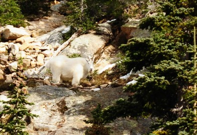 Mountain Goat, Okanogan-Wenatchee National Forest