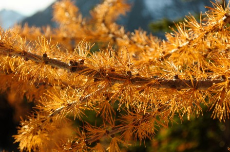 Larch, Okanogan-Wenatchee National Forest