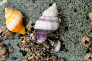A triad of Frilled Dogwinkles, Point Whitehorn Marine Reserve, Washington