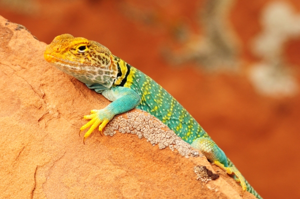 A colorful Collared Lizard in Dominguez Canyon, Colorado