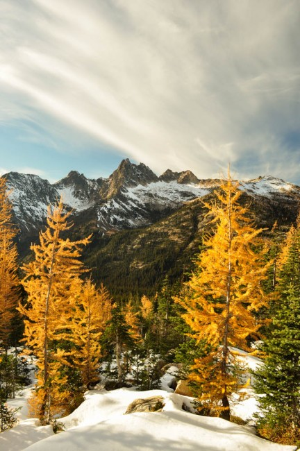 Golden Western Larches in the North Cascades