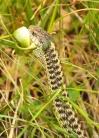 Snake eats snake, Black Canyon of the Gunnison National Park, Colorado