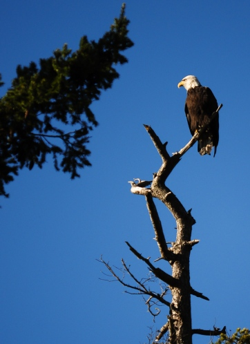 A bald eagle sits in a tree at the Padilla Bay National Estaurine Reserve