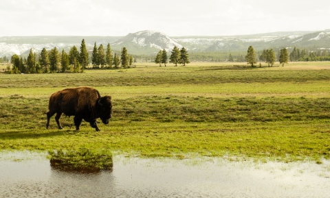 yellowstone bison reflection