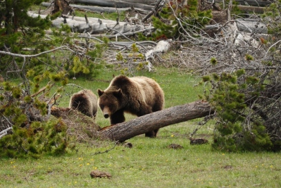 yellowstone grizzly and cub