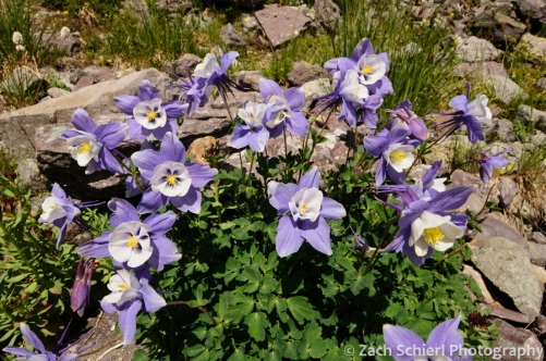 Rock Mountain Columbine