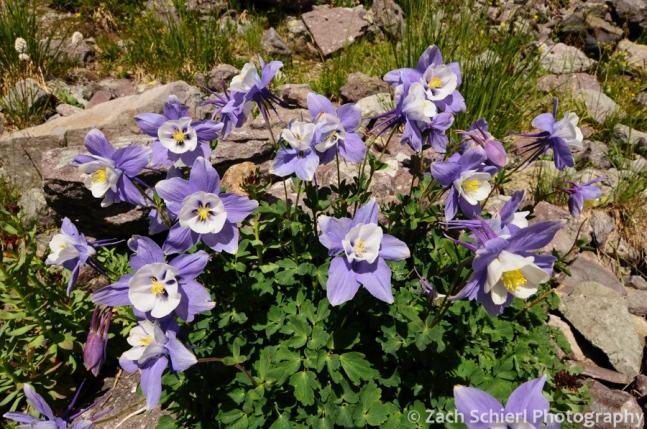 Rock Mountain Columbine