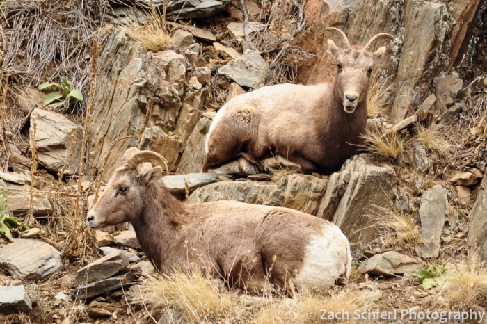 2 bighorn sheep ewes in BIg Thompson Canyon