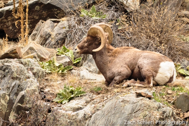 Bighorn Sheep ram in Big Thompson Canyon