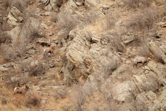 Four bighorn sheep in Big Thompson Canyon