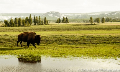 A solitary bison in Yellowstone National Park