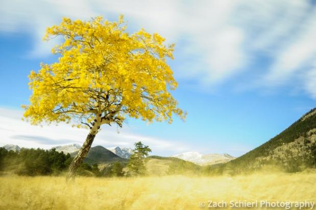 Waving aspen tree, Rocky Mountain National Park