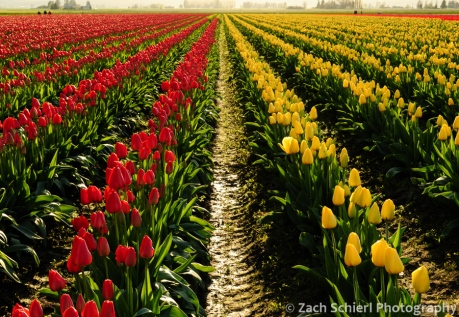 Filed at Skagit Valley Tulip Festival