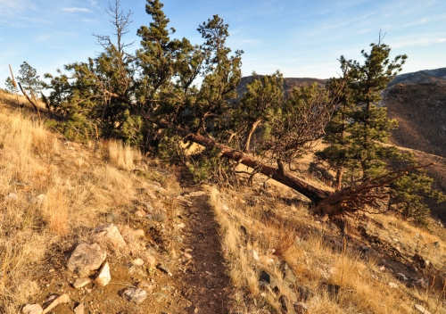 downed Ponderosa Pine on the trail