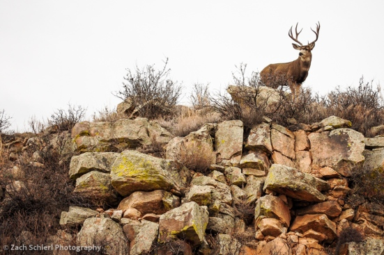 Mule deer on cliff