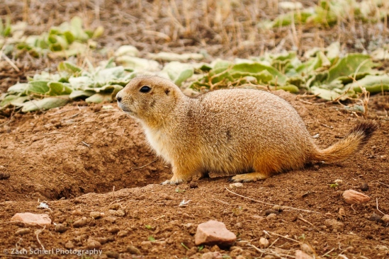 Black-tailed prairie dog, Coyote Ridge Natural Area