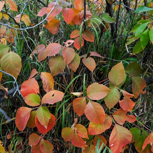 Poison ivy changes colors in the fall