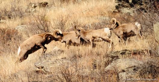 Bighorn sheep rams fighting in Big Thompson Canyon, Colorado