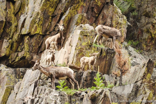 A family of bighorn sheep ewes and kids in Big Thompson Canyon, Colorado