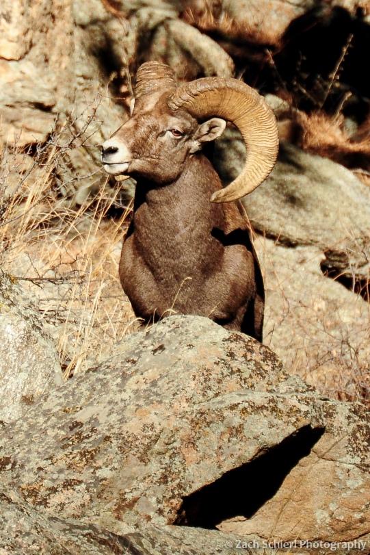 A bighorn sheep ram in Big Thompson Canyon