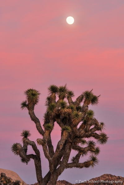 Full moon and joshua tree