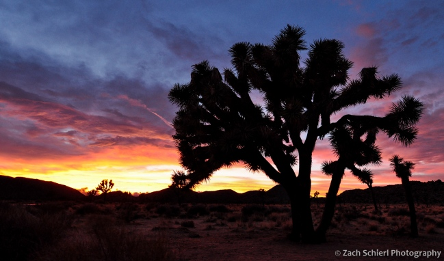 A spectacular winter sunset at Joshua Tree National Park