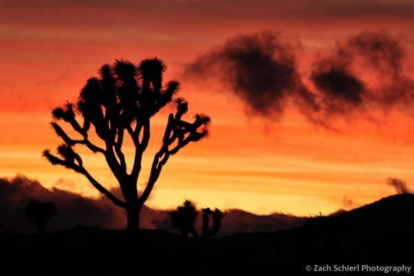 Joshua tree sillhouette at sunset