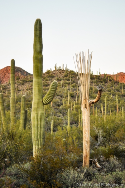 Saguaro cactus with ribs showing