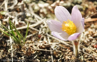 Early blooming pasqueflower in Rocky Mountain National Park, Colorado