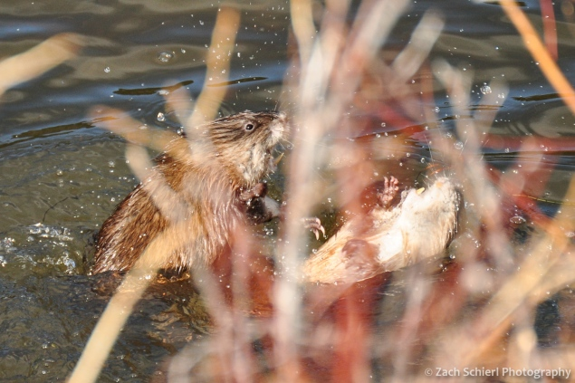 Muskrats in Lily Lake, Rocky Mountain National Park, Colorado