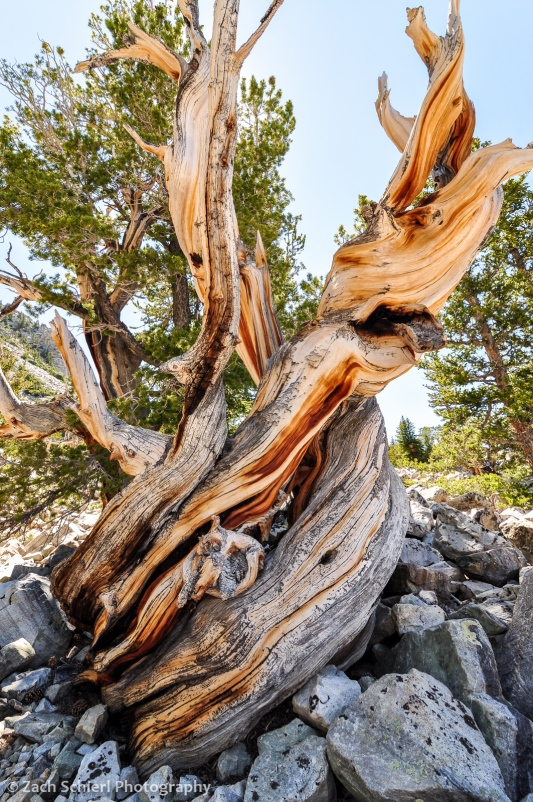 bristlecone pine, Great Basin National Park