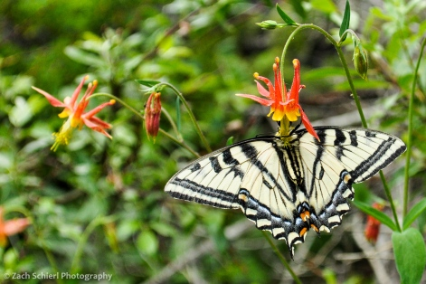 A Western Tiger Swallowtail pollinates and feeds from a crimson columbine